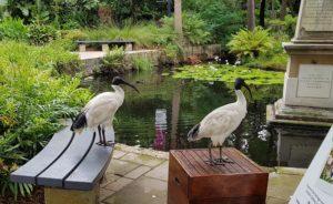 Ubiquitous bin chickens in the Royal Botanic Gardens, Sydney