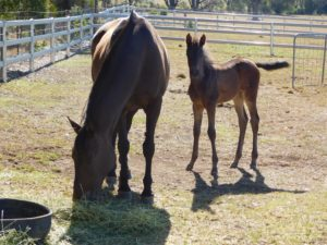 Foal on the farm